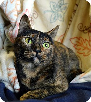 Calico Cat for adoption in Richmond, Virginia - Taya