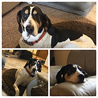 Adopt A Pet :: Boone - Salem, OR