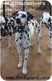 Dalmatian Dog for adoption in Newcastle, Oklahoma - Peanut