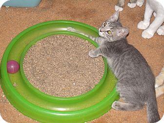 Domestic Shorthair Kitten for adoption in Scottsdale, Arizona - Bonnie-face fascination