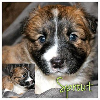 Jack Russell Terrier/American Pit Bull Terrier Mix Puppy for adoption in Garden City, Michigan - Sprout