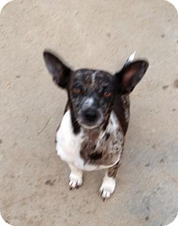 Dachshund/Terrier (Unknown Type, Small) Mix Dog for adoption in Gustine, California - LILLY