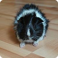 Adopt A Pet :: Elvis - Brooklyn Park, MN
