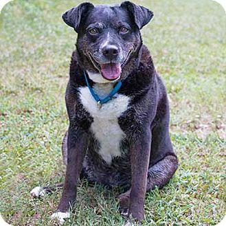 Retriever (Unknown Type)/Beagle Mix Dog for adoption in Atlanta, Georgia - Cupcake
