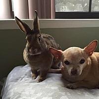 Chinchilla, American Mix for adoption in Los Angeles, California - Hadley & Hartley