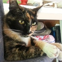 Calico Cat for adoption in Bonsall, California - Tricksy