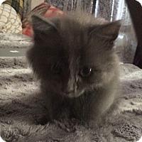 Adopt A Pet :: Wyatt - Los Angeles, CA