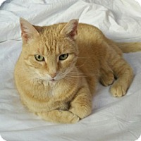 Domestic Shorthair Cat for adoption in Alexandria, Virginia - Rita