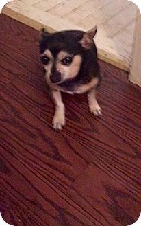 Chihuahua Dog for adoption in Wallingford Area, Connecticut - Emilio