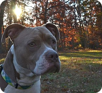 Pit Bull Terrier Mix Dog for adoption in Jackson, New Jersey - Legend
