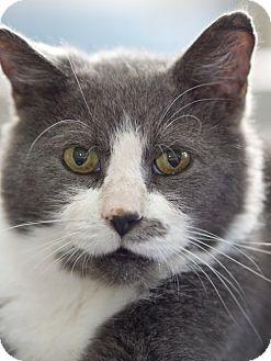 Domestic Shorthair Cat for adoption in LaGrange, Kentucky - Clint