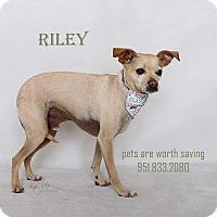 Chihuahua Mix Dog for adoption in Corona, California - RILEY