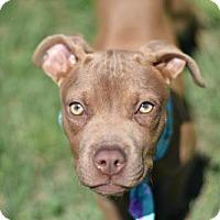 Adopt A Pet :: Gracie - Frisco, TX