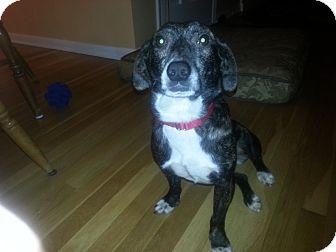 Corgi/Dachshund Mix Dog for adoption in Avon, Ohio - VIXEN