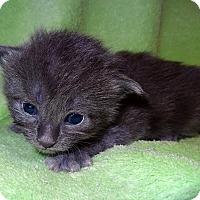 Adopt A Pet :: Josh - Bentonville, AR