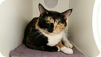 Calico Cat for adoption in Maryville, Tennessee - JayJay