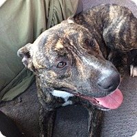 American Pit Bull Terrier Mix Dog for adoption in Sedan, Kansas - Tank