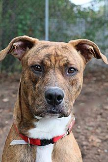 Labrador Retriever Mix Dog for adoption in Brookhaven, New York - Simba