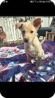 Labrador Retriever Mix Puppy for adoption in Mesa, Arizona - MURPHY