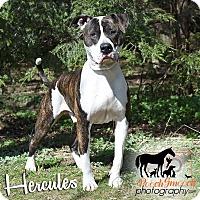 Adopt A Pet :: Hercules - Broadway, NJ
