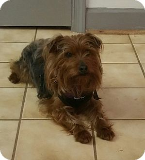 Yorkie, Yorkshire Terrier Mix Dog for adoption in Alexandria, Virginia - Mr. Scruffy Face