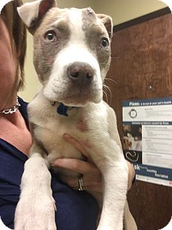 Pit Bull Terrier/American Pit Bull Terrier Mix Puppy for adoption in Atlanta, Georgia - Faulkner