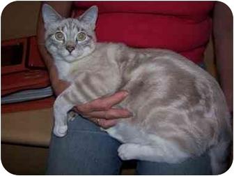Siamese Cat for adoption in Diamond Bar, California - CRYSTAL