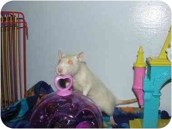 Rat for adoption in Hamburg, Pennsylvania - Holly and  Joy