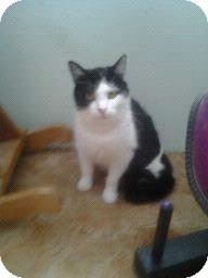 Domestic Shorthair Cat for adoption in Fairborn, Ohio - Crystal-Cemetery Rescues