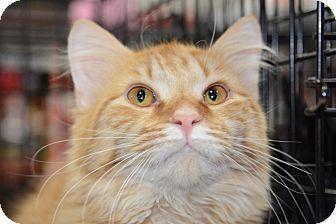 Maine Coon Cat for adoption in Harrisburg, North Carolina - Elliotte