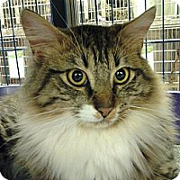 Adopt A Pet :: Major - Chesapeake, VA