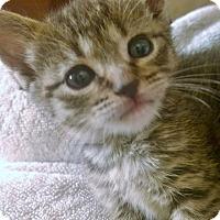 Adopt A Pet :: Maggie - Reston, VA