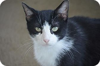 American Shorthair Cat for adoption in New Iberia, Louisiana - Clyde