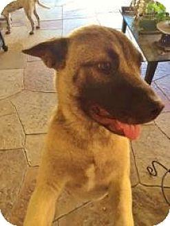 Akita Mix Dog for adoption in Garland, Texas - Batman