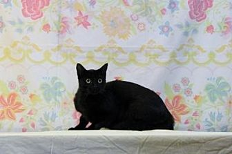 Domestic Shorthair Cat for adoption in Sebastian, Florida - Diva