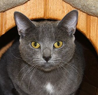 Domestic Shorthair Cat for adoption in North Branford, Connecticut - Courage