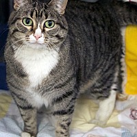 Domestic Shorthair Cat for adoption in St Louis, Missouri - Cherokee