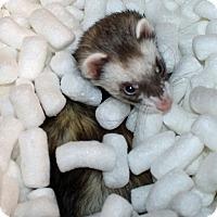 Ferret for adoption in Indianapolis, Indiana - Viska