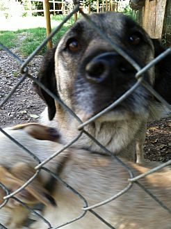 Shepherd (Unknown Type) Mix Dog for adoption in Columbia, South Carolina - George