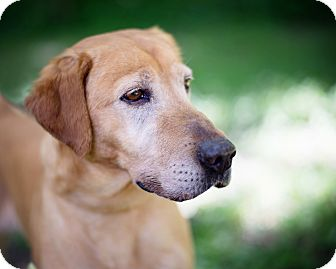 Labrador Retriever Mix Dog for adoption in Lewisville, Indiana - Honey