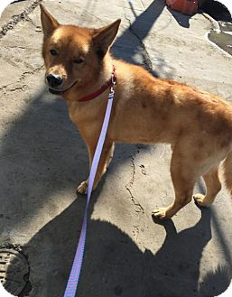 Chow Chow Dog for adoption in Brooklyn, New York - Theodore