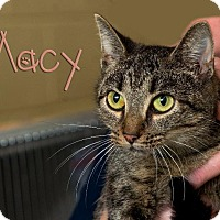Domestic Shorthair Cat for adoption in Somerset, Pennsylvania - Macy