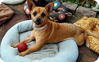 Corgi/Chihuahua Mix Dog for adoption in Andalusia, Pennsylvania - June