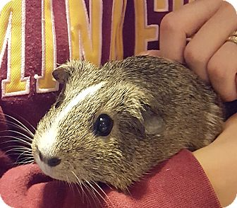 Guinea Pig for adoption in St. Paul, Minnesota - Delores