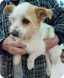 Jack Russell Terrier Dog for adoption in Apple Valley, California - Sirius