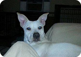 Labrador Retriever/Pit Bull Terrier Mix Dog for adoption in Houston, Texas - Sassy pants