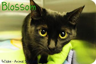 Domestic Shorthair Cat for adoption in Hamilton, Ontario - Blossom
