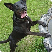 Shepherd (Unknown Type)/Labrador Retriever Mix Dog for adoption in Lafayette, Louisiana - Da Vinci
