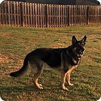 Adopt A Pet :: Chief-5 years AKC - Holly Hill, SC