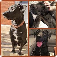 Labrador Retriever Mix Dog for adoption in Blackstock, Ontario - Zorro